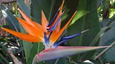 Comment faire l'entretien de son oiseau de Paradis