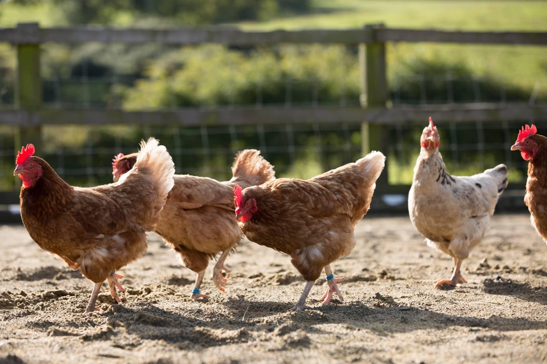 Élever des poules